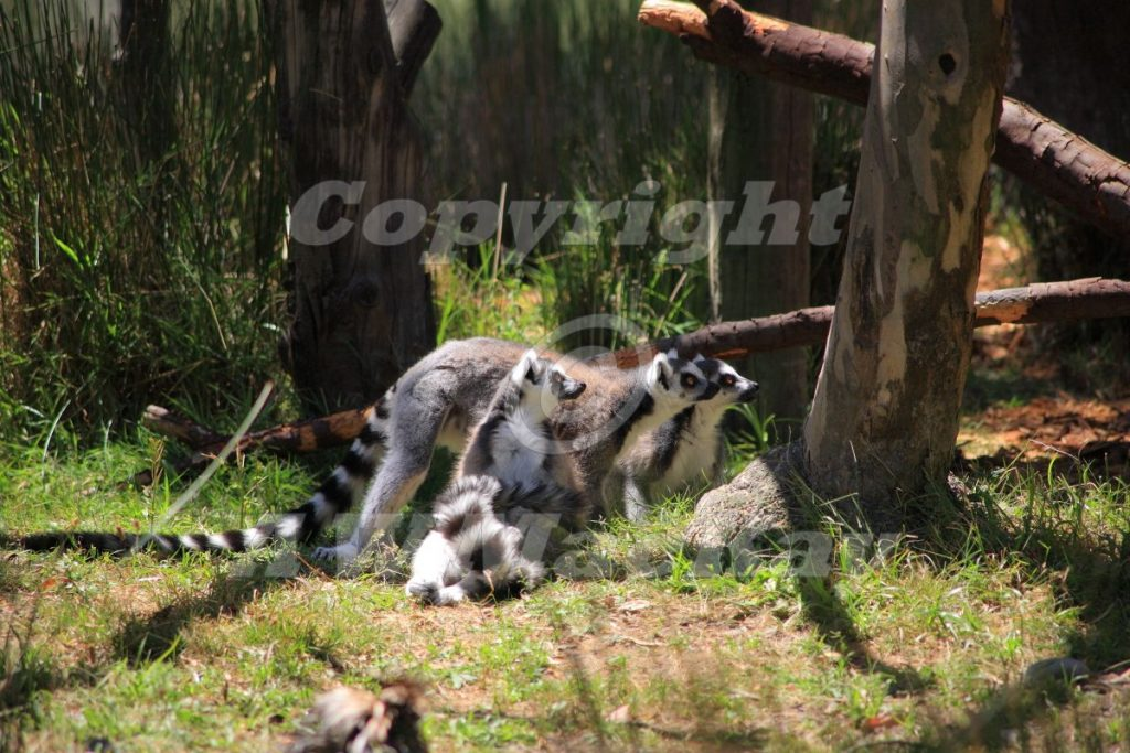 """Ring Tailed Lemurs - """"Who's there?"""""""