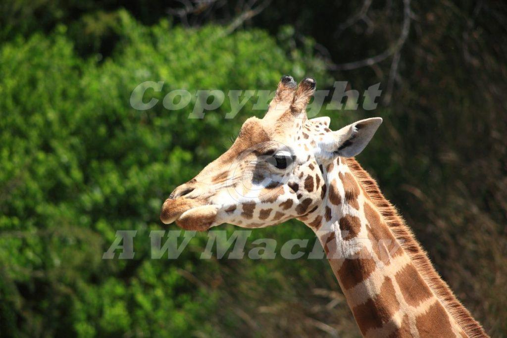 Rothschilds Giraffe II